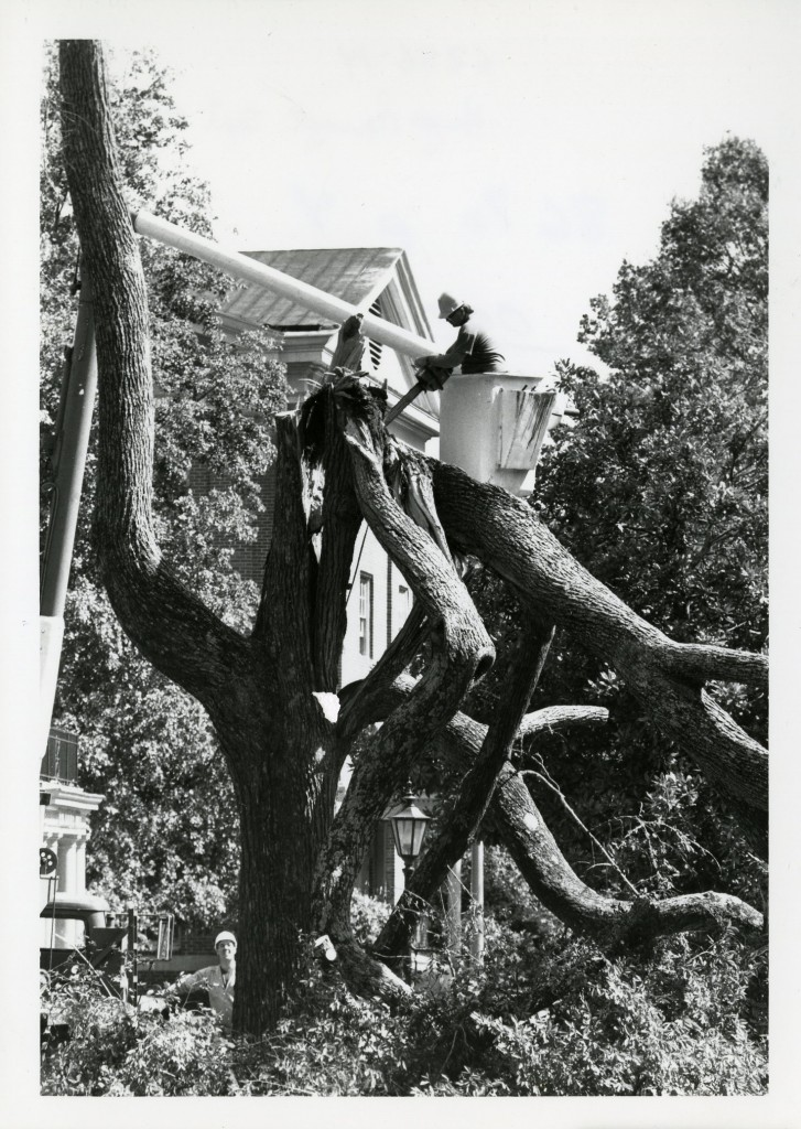 A man with a hardhat in a lift using a chainsaw to cut frayed branches from a tree that bent halfway up the tree next to one of the dorms
