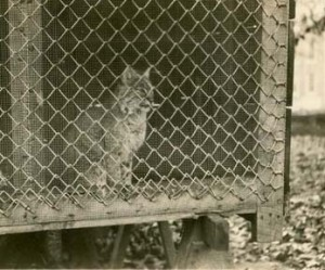 Is this the live cat from the 1920s or 1960s?